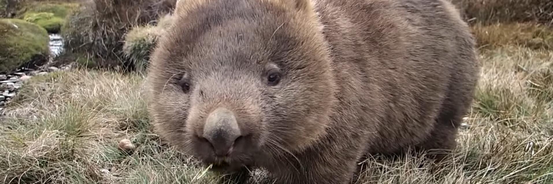 Wombat kauend