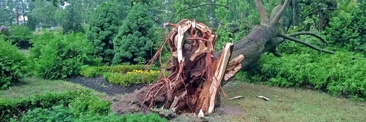 Vom Wind entwurzelter Baum