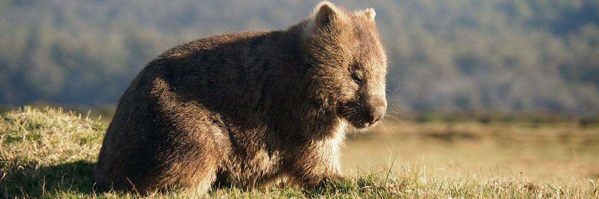 wombat-a2.jpg